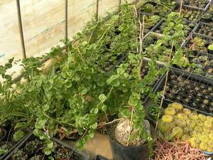 亀甲竜の育て方!置き場所や水やり・肥料の与え方など管理のコツを解説!