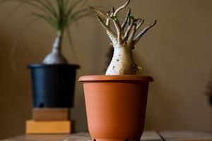 おすすめの塊根植物(コーデックス)7選!初心者でも育てやすい品種は?