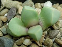 メセン「魔玉」とは?多肉植物としての特徴や上手な育て方をご紹介!