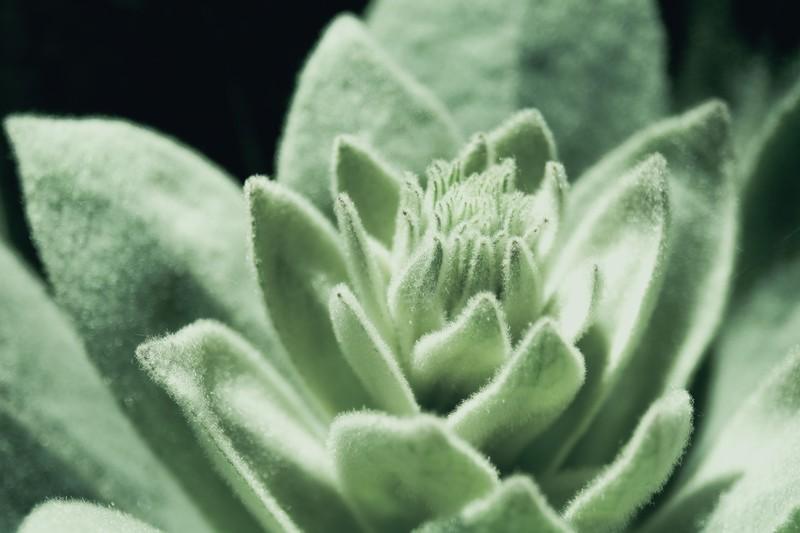 三時草とは?多肉植物としての特徴や名前の由来・開花時期をご紹介!