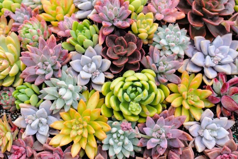 花が咲く人気の多肉植物10選!それぞれの品種の特徴や花言葉をご紹介!
