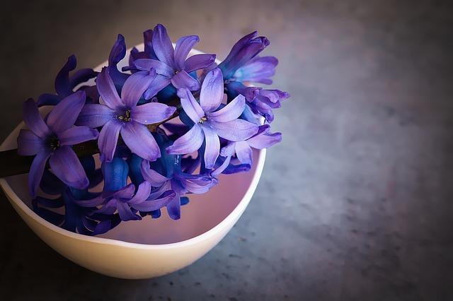 ヒヤシンスとは?水耕栽培(水栽培)での育て方や開花後の管理方法を紹介!