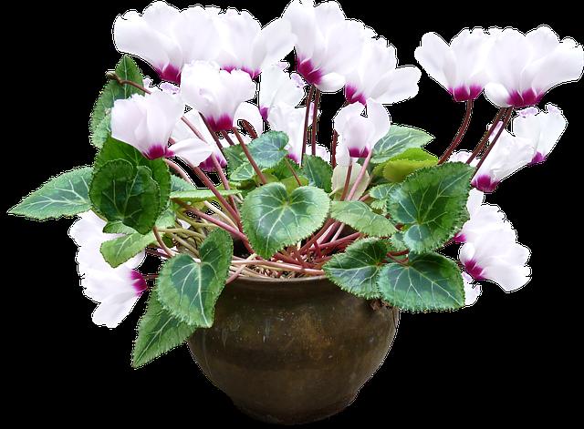 シクラメンの夏越しの管理方法!翌年も花を咲かせるためのコツは?