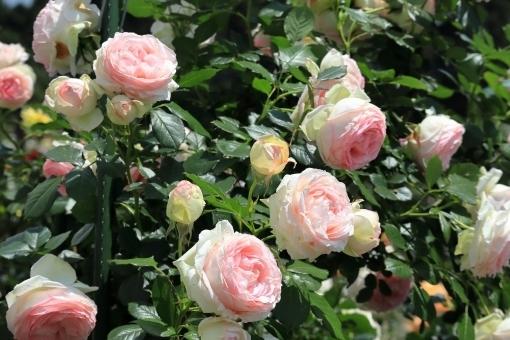 【栽培中】ピエールドゥロンサールの育て方!苗から開花させるまでの管理のコツは?