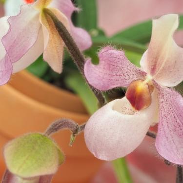 パフィオペディルムとは?特徴や花言葉をご紹介!食虫植物なの?