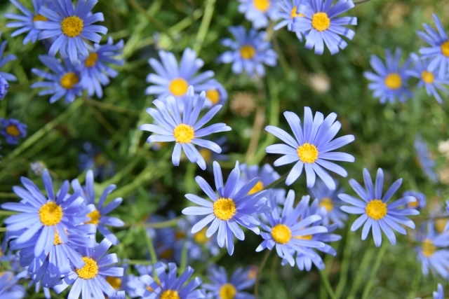 ブルーデイジーの特徴・花言葉と育て方!寄せ植えに相性が良い草花は?