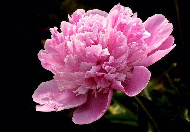 芍薬(シャクヤク)の育て方!秋に植えてから開花までの管理のコツは?