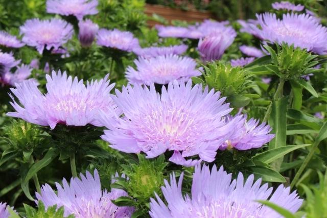 ストケシアの育て方!種まきの仕方や花が咲かない時の対処法など!