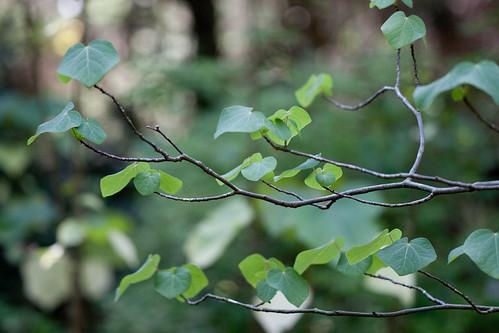 マルバノキをシンボルツリーとして育てる方法!最終樹高はどれくらい?