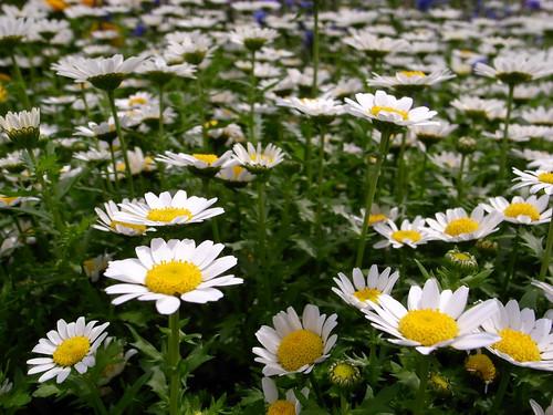 クリサンセマムとは?開花時期や特徴を解説!寄せ植えに相性がいい植物は?