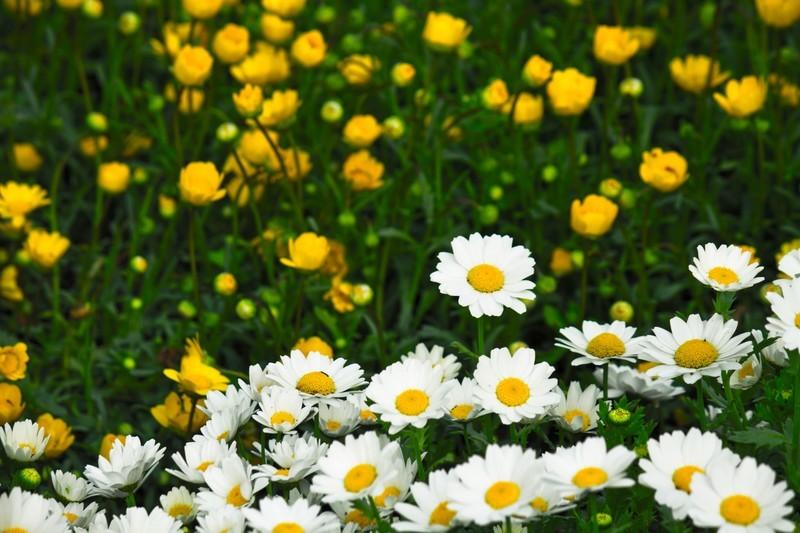 クリサンセマムの育て方!用土・水やりのコツから花後の管理まで解説!