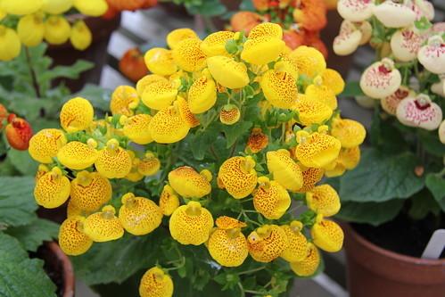 カルセオラリア(巾着草)とは?開花時期や花言葉など特徴をご紹介!