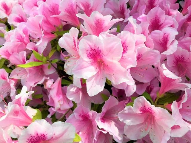 ヒラドツツジ(平戸ツツジ)とは?開花時期や樹高など特徴をご紹介!