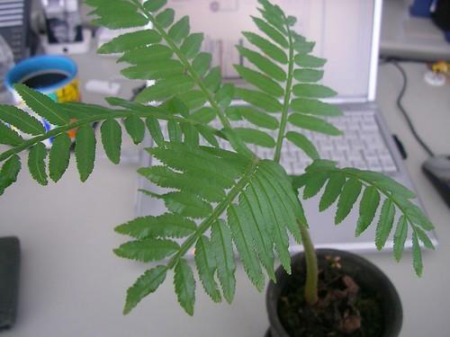 リュウビンタイの育て方!シダ植物の特徴を含めて管理のコツをご紹介!