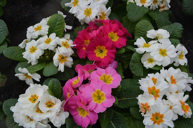 「プリムラ」の色別・種類別の花言葉!全8種の花言葉を一挙ご紹介!