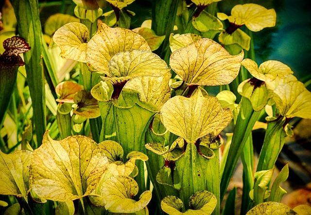 サラセニアとは?食虫植物としての特徴や種類を紹介!スカーレットベルなど!