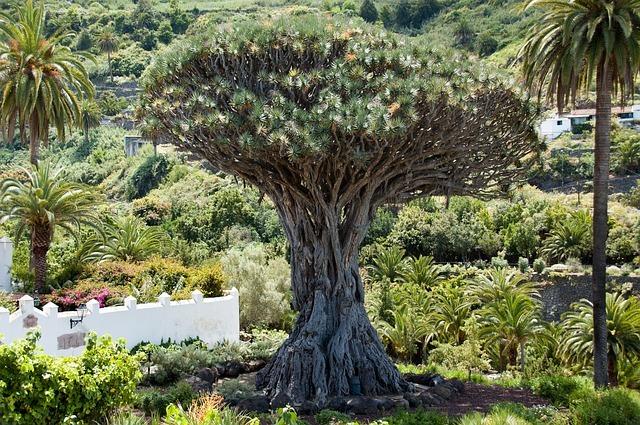 竜血樹とは?特徴や自生地、赤い樹液の利用法・効能などを紹介!