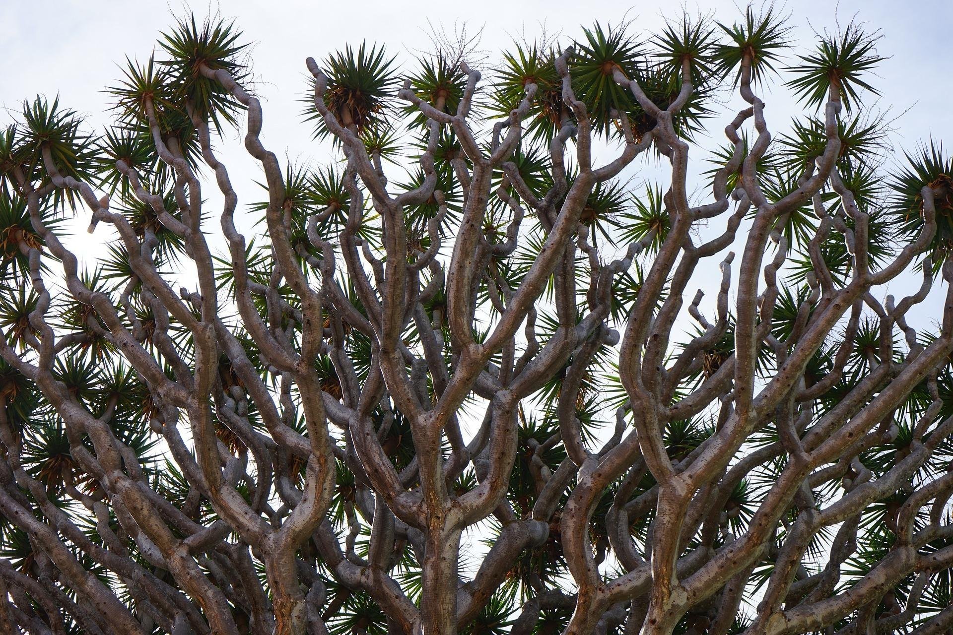 竜血樹を観葉植物として育てる方法!入手方法や管理のコツをご紹介!