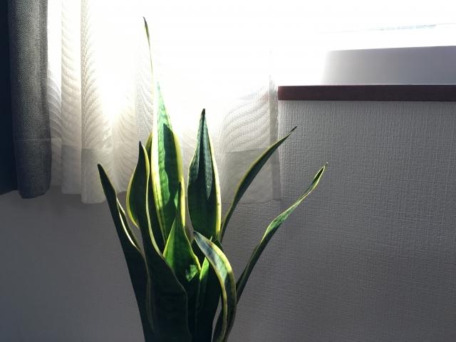 サンスベリアの増やし方!葉挿しで上手に発根・成長させるコツは?