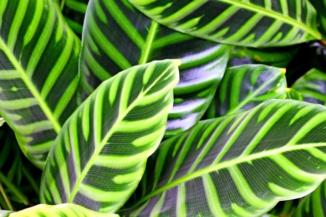 カラテアってどんな植物?その種類・特徴と詳しい育て方をご紹介!