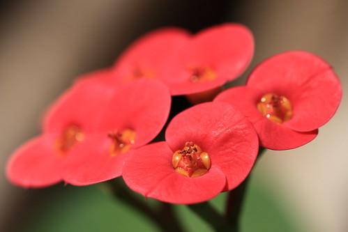 ハナキリン(花麒麟)の育て方!植え替えや剪定の仕方など詳しく解説!
