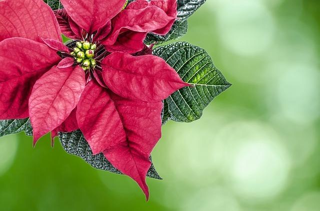 12月に咲く・咲いている代表的な花一覧!各種の特徴や花言葉を紹介!