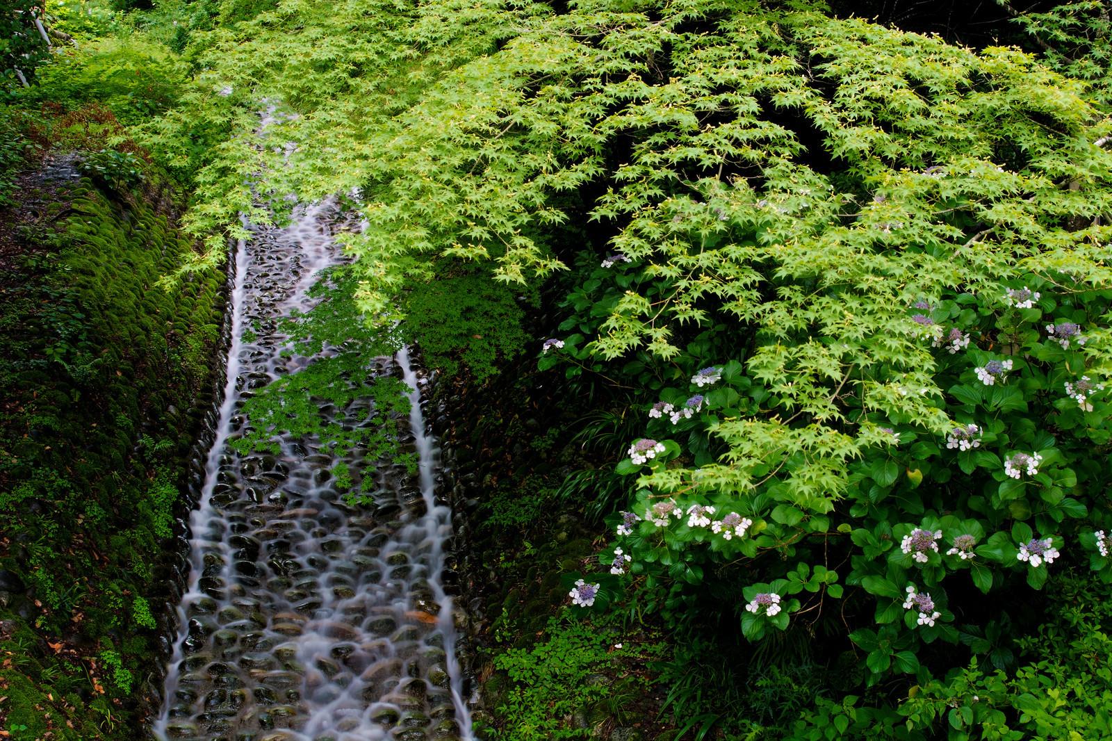 サイハイラン(采配蘭)とは?花や葉の特徴や群生地をご紹介!