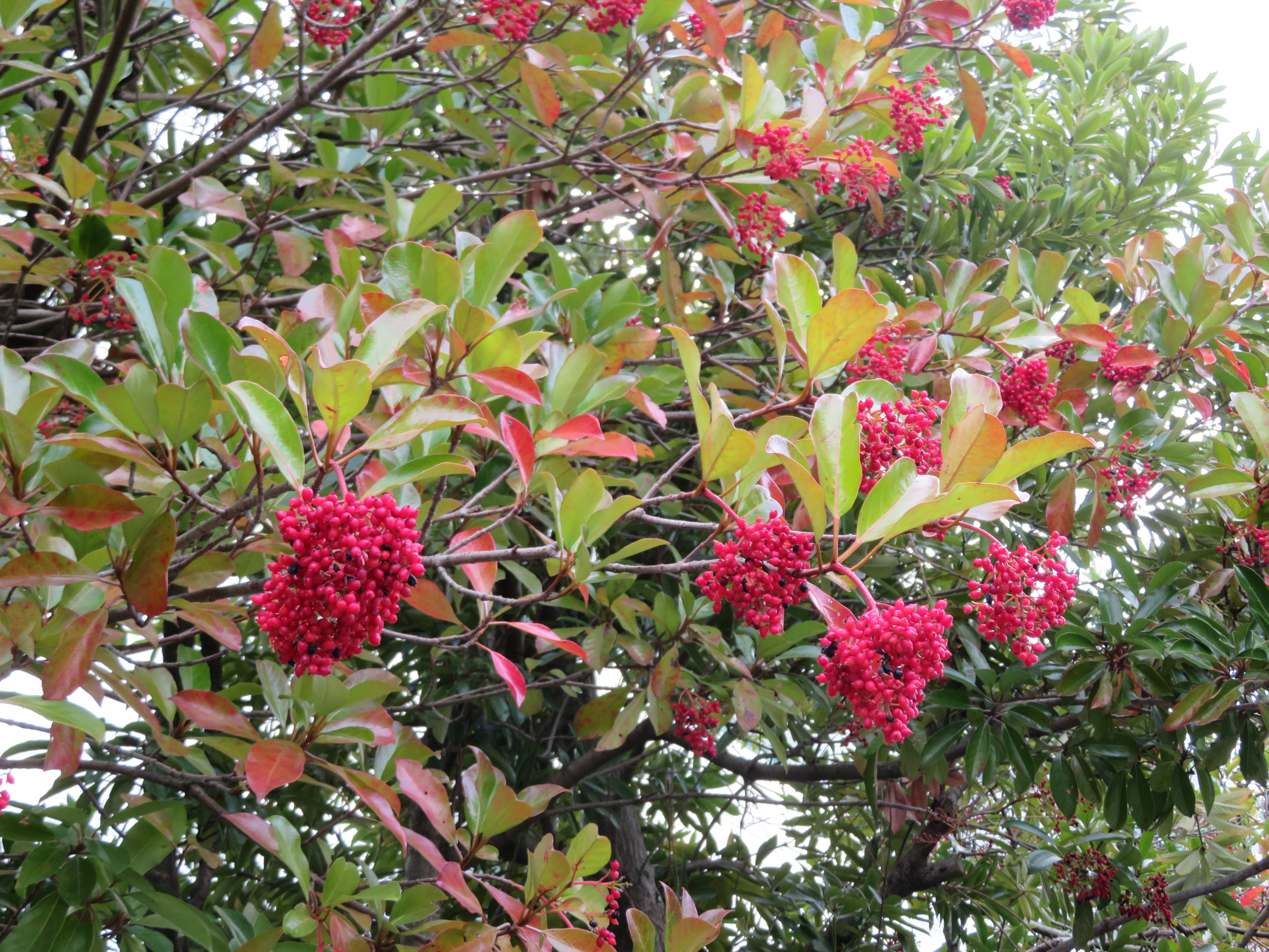 珊瑚樹(サンゴジュ)とは?特徴や育て方をご紹介!防火樹として用途は?