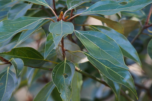 シロダモはどんな常緑樹?その特徴をご紹介!庭木として育てられる?