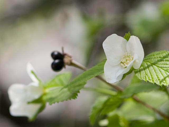 シロヤマブキ(白山吹)の育て方!挿し木での増やし方や越冬方法を解説!