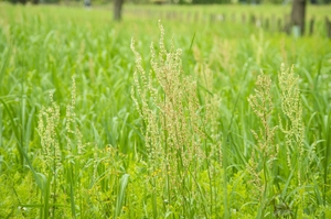 「スイバ」とは?薬用植物としての特徴・効果や利用法をご紹介!