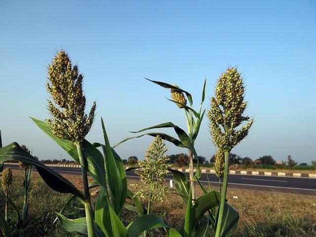 ソルゴーとは?その特徴・種類と利用方法!障壁栽培や防風対策の効果について