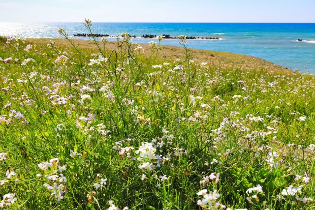 ハマダイコン(浜大根)の特徴と食べ方!食べられる野草ってホント?