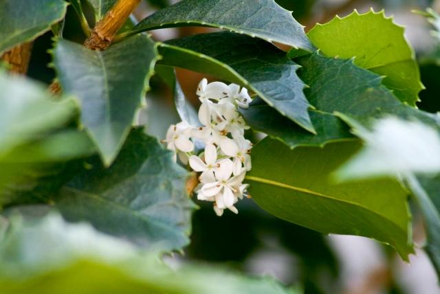 ヒイラギキンモクセイの育て方!植栽の時期や上手な剪定の方法を紹介!