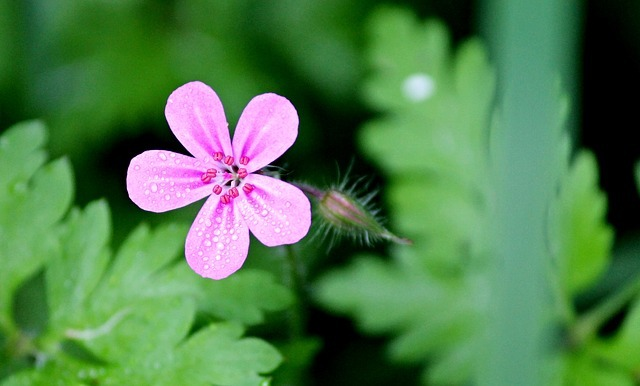 ヒメフウロ(姫風露)とは?特徴や生息地をご紹介!開花時期はいつ?