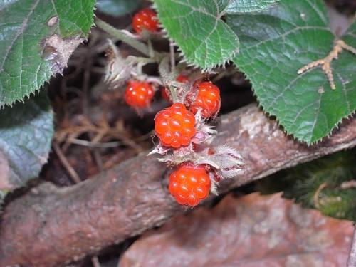 フユイチゴ(冬苺)とは?特徴・生息地・見分け方から食べ方までご紹介!