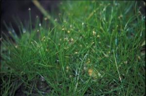 マツバイとは?雑草としての特徴・生態や駆除方法をご紹介!
