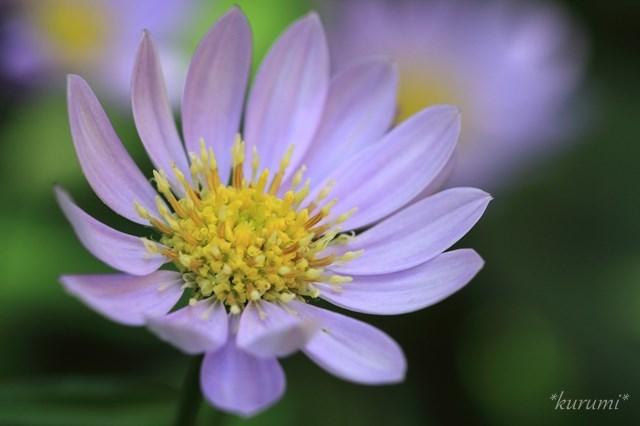 5月の花といえば?5月に咲く・咲いている花20種の特徴や花言葉を紹介!