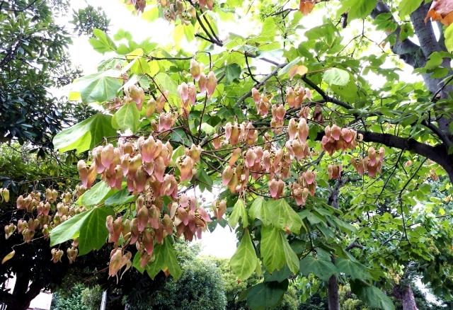アオギリ(青桐)とは?樹木としての特徴や用途をご紹介!