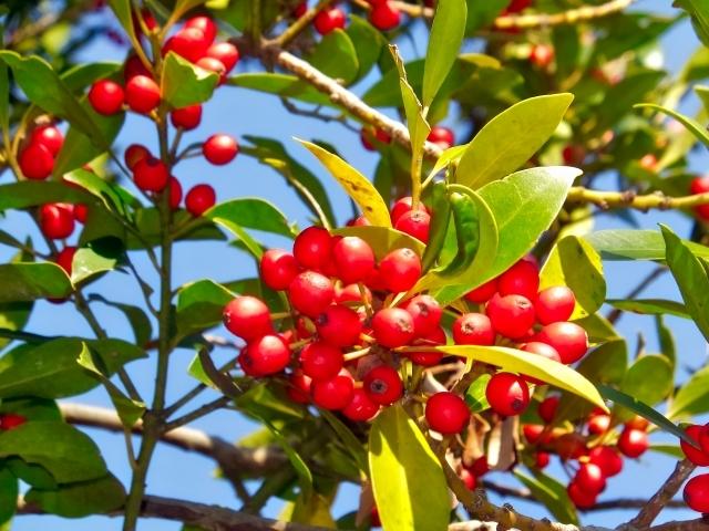 アオハダとは?株立ちが美しい庭木の特徴や利用法・育て方をご紹介!