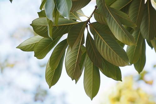 アカガシとは?どんぐりが実る樹木の特徴や育て方をご紹介!