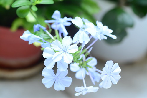 アデニアとはどんな多肉植物?その特徴や育て方・栽培方法をご紹介!
