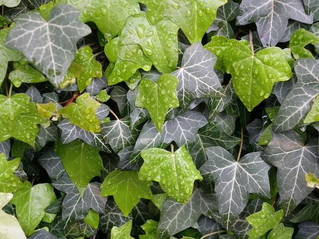 キヅタとは?つる植物としての特徴や用途・利用法をご紹介!