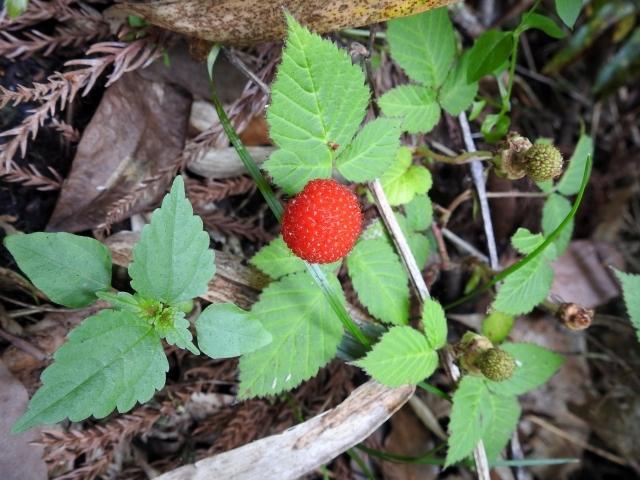 クサイチゴとは?食べられる野いちご?特徴や分布・育て方を解説!