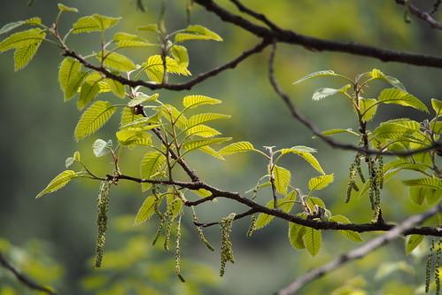クヌギとは?特徴や利用法を解説!!他の木のどんぐりとの見分け方は?