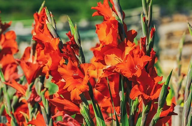 グラジオラスの花言葉を色別・種類別にご紹介!「勝利」や「努力」?