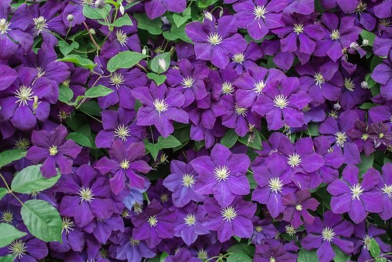 クレマチスの花言葉を色別・種類別にご紹介!贈り物へのおすすめは?