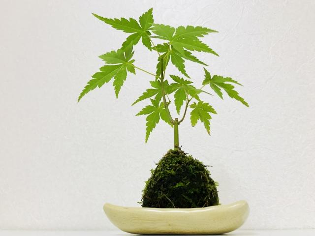 「ケト土」とは?特徴・用途やケト土を使った苔玉の作り方をご紹介!