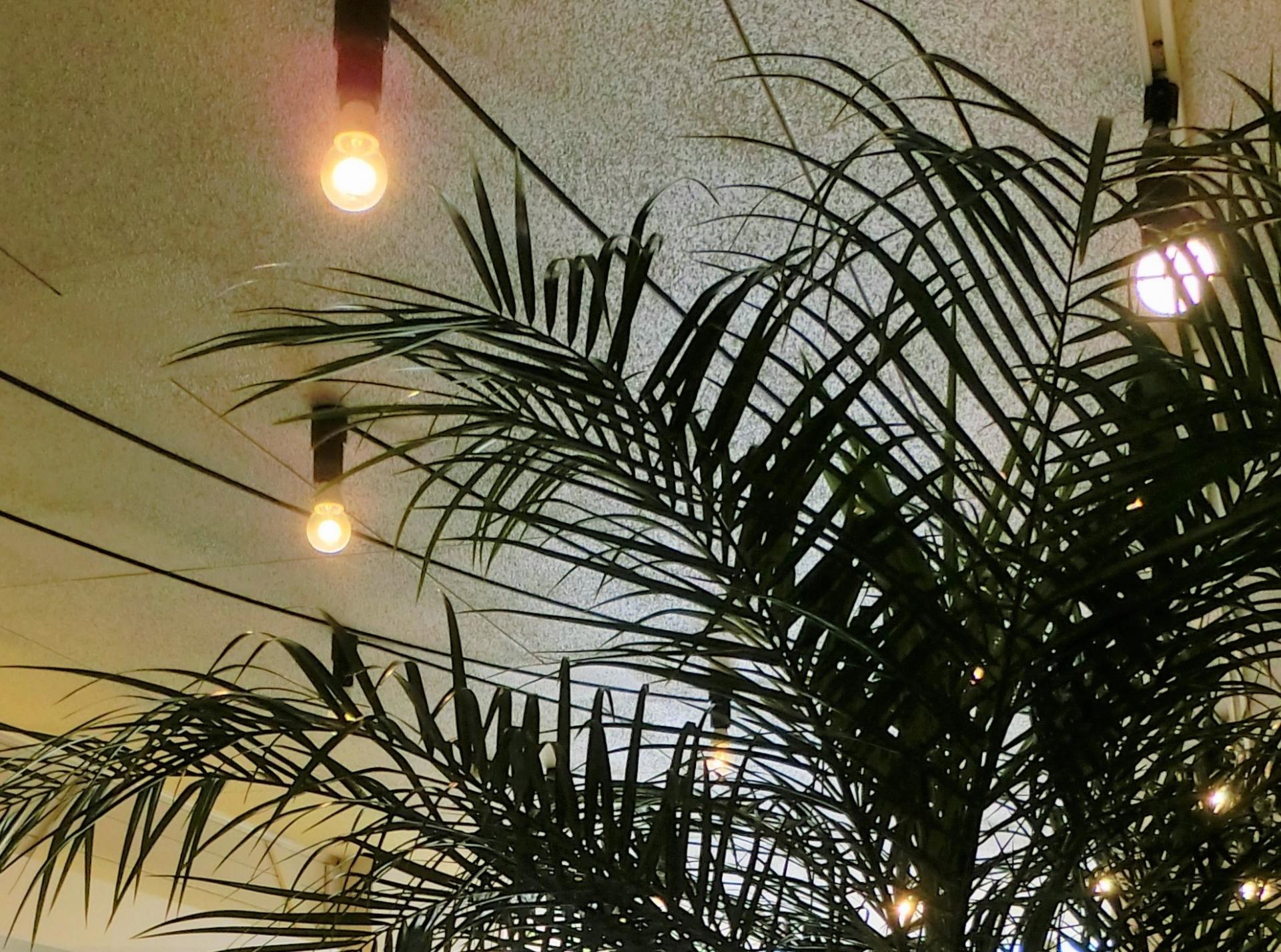 ケンチャヤシとは?どんな観葉植物?その特徴や育て方をご紹介!