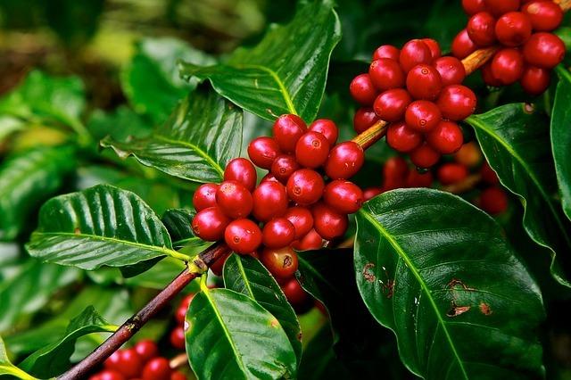 コーヒーの木の育て方!置き場・水やりなど室内での上手な管理方法は?